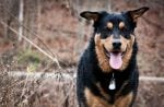 Your Guide To The German Shepherd Rottweiler Mix