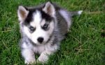 The Adorable Pomsky Mixed Breed