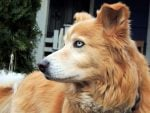The Lovable, Athletic Golden Retriever Husky Mix