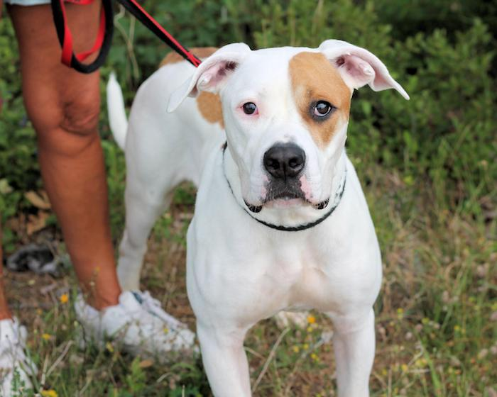 white with brown coat great dane pitbull mix