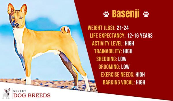 bio card Basenji dog breed