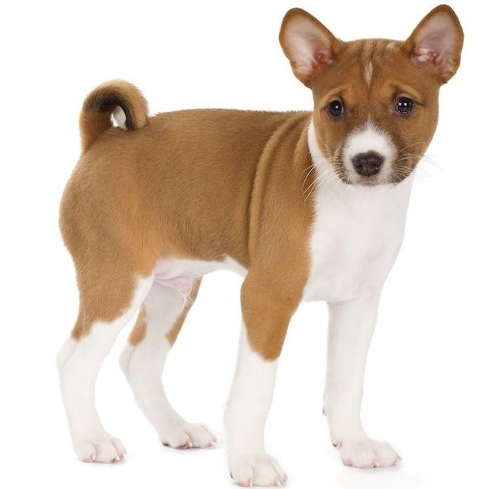 Basenji puppy Basenji dog breed