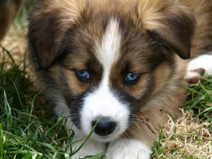 Related Post: Everything You Should Know about the Australian Shepherd Lab Mix