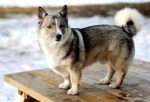 The Brave, Brainy, and Adorable Corgi Husky Mix