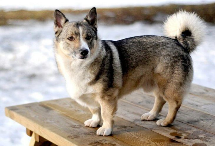 Corgi Husky Mix A Brave Brainy And