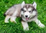The Sprightly, Charming Miniature Husky