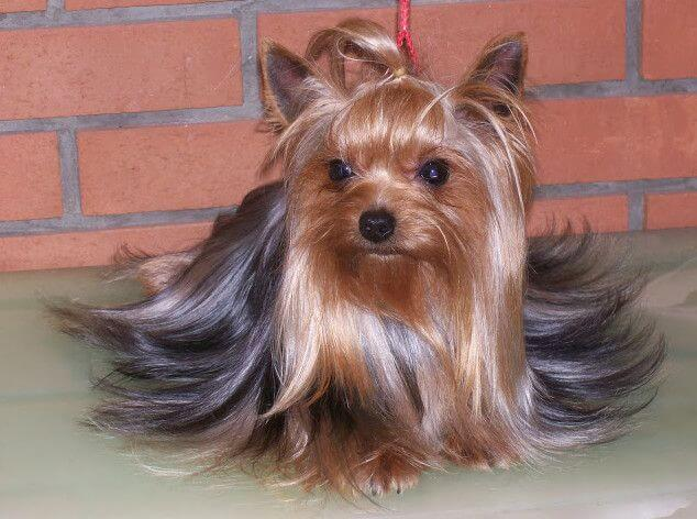 yorkshire terrier FI