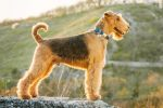 Airedale Terrier Breed: Discover All You Need To Know About This Beautiful Dog