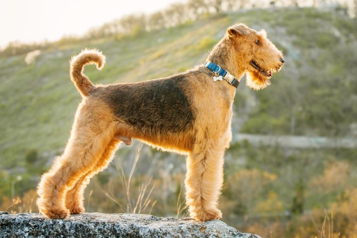 airedale terrier FI