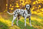 The Dalmatian: The Most Famous Dog Breed In The World