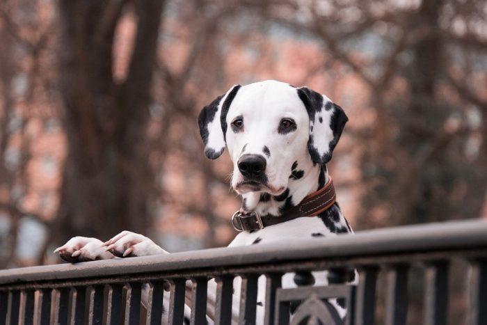 upright on a rail dalmatian