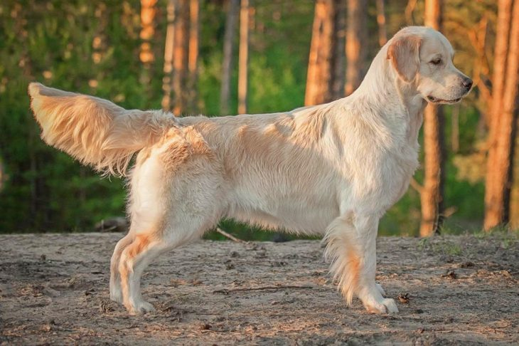 golden retriever FI