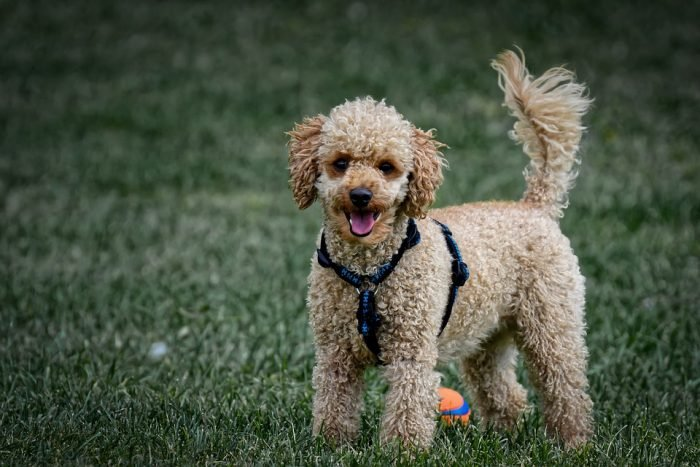 brown poodle on grass poodle
