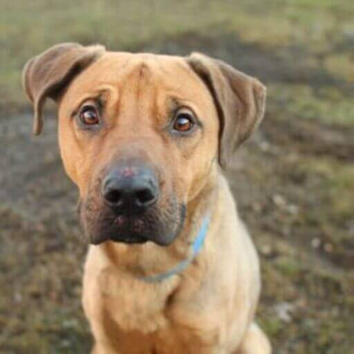 German Shepherd Pitbull mix