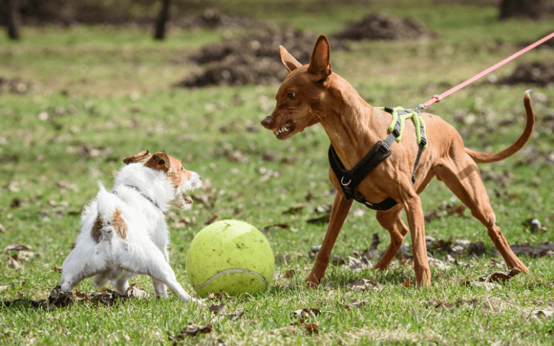 dog growling, what do you do if an off-leash dog approaches you while you are walking a dog?