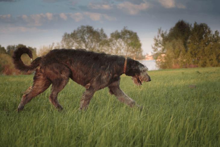 Irish Wolfhound FI